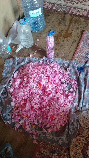 Rose petal harvest at Girdev