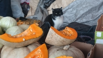 A cat minding the pumpkin stall - of course!
