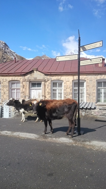 Following the signposts with the Kazbegi cows