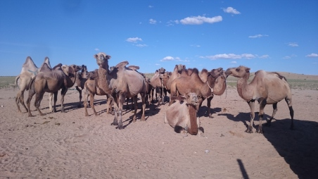 Camels at a watering hole along the track between Shambala and Sainshand